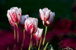 omp_flores_tulipe